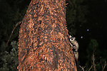 The yellow-bellied glider feeding on the sweet sap of Red mahogany at night with the stars. The yellow-bellied glider (Petaurus australis) is an arboreal and nocturnal gliding possum that lives in a narrow range of native eucalypt forests down eastern Australia, reaching from northern Queensland to Victoria. The yellow-bellied glider, also known as the fluffy glider in Far North Queensland. It is the largest of the four Petaurus gliders that occur in Australia. It lives in family groups, is the most vocal, is an extremely accomplished glider and can readily be found at trees which it taps for sap. Studies have confirmed the dependence of the Yellow-bellied Glider in north Queensland on the sugary sap of the Red Stringybark or Red Mahogany (Eucalyptus resinifera) and the den hollows of Rose Gum (Eucalyptus grandis) and that conservation is intimately associated with the management of these two tree species. Two genetically distinct populations are recognised in Queensland, the sub-species Petaurus australis reginae as far north as Mackay and an isolated population in Far North Queensland referred to as Petaurus australis (Wet Tropics, or northern subspecies).