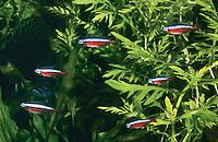 Roter Neon, Kardinaltetra, Roter Neonfisch, Paracheirodon axelrodi, Cheirodon axelrodi, Hyphessobrycon cardinalis, cardinal tetra, Cardinalis, Néon rouge, Tétra cardinal, néon cardinalis
