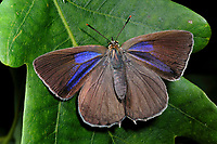 Blauer Eichen-Zipfelfalter, Blauer Eichenzipfelfalter, Weibchen, Favonius quercus, Neozephyrus quercus, Quercusia quercus, purple hairstreak, female, La Thècle du chêne, Bläulinge, Lycaenidae