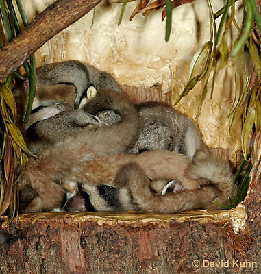 0218-08qq  Sugar Gliders Huddling Together in a Nest, Petaurus breviceps © David Kuhn.