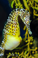 big-belly seahorse or pot-bellied seahorse, Hippocampus abdominalis, male with brood pouch (c)