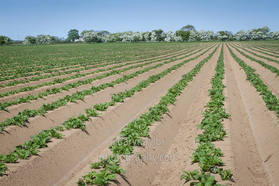 Young Marfona potato plants - Lincolnshire, May