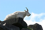 mountain goat on rocks