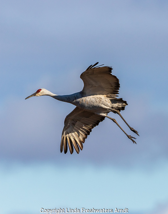 Sandhill crane preparing to land in Crex Meadows Wildlife Area.