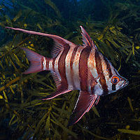 RS0687-Ds. Old Wife (Enoplosus armatus) to 25cm endemic to Australia. Southern Queensland subtopical to cool temperate Southern Australia west to SW Australia. Found on inshore rocky reefs, 0-85 meters deep, often among kelp beds. Supposedly, the name comes from the grating or grinding sound made when the fish is captured. Tasmania, Australia, Pacific Ocean. Cropped to square from native horizontal format.<br /> Photo Copyright &copy; Brandon Cole. All rights reserved worldwide.  www.brandoncole.com