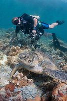 Diver watching Loggerhead Turtle, Caretta caretta, vulnerable species, resting on coral reef, Hanging Gardens dive site, Sipadan Island, Sabah, Malaysia, Celebes Sea, MR