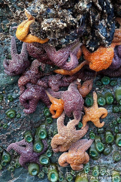 Constellation of starfish are exposed during low tide at Whaleshead Beach in Southern Oregon.