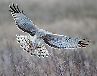 Normally a shy species, this male harrier alighted near the trail.