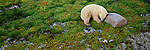 A polar bear sleeps in the green tundra at Cape Churchill in Manitoba, Canada.