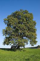 Stiel-Eiche, Stieleiche, Eiche, Quercus robur, English Oak