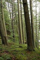 Dense woods around Thirlmere Lake, Lake District, England