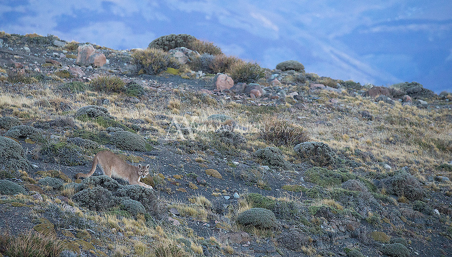 A female puma begins her evening walk in Torres del Paine.