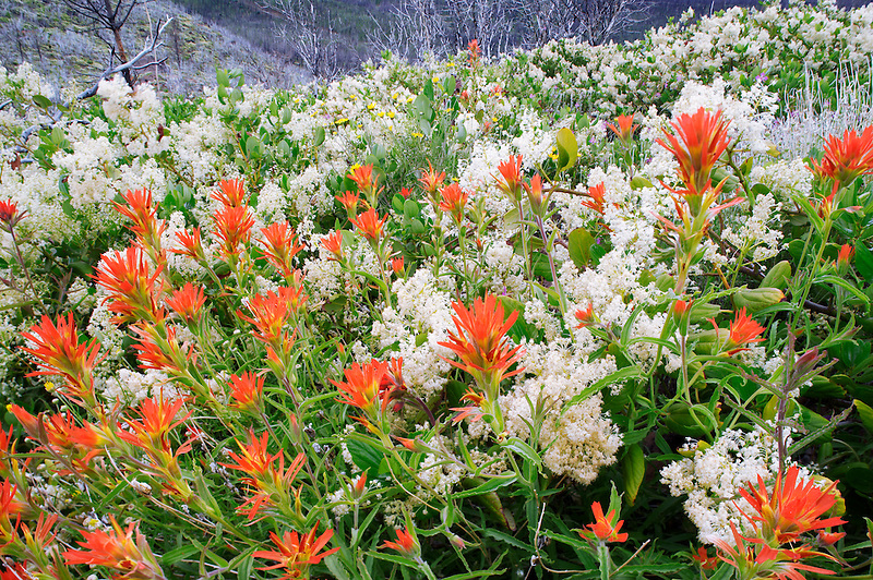 Wildflowers and burned manzanita bush three years after wildfire. Mostly Ceonothus (snowbush) and Indian Paintbrush. Freemont National Forest. Oregon