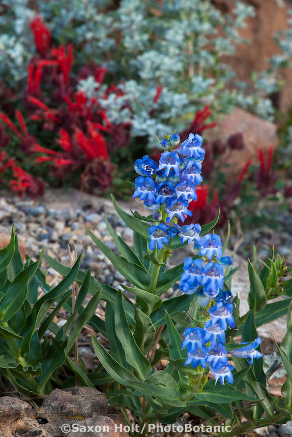 Blue Penstemon angustifolius Narrow-leaved Beardtongue flowering in David Salman New Mexico xeric rock garden