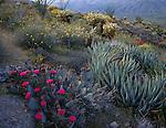 Anza-Borrego Desert State Park, CA<br /> Beavertail Cactus, Century Plant, Brittlebush and Cholla on a spring desert hillside in Plum Canyon