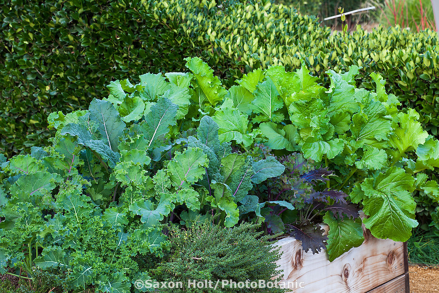 Edible winter leafy green vegetables in raised bed, Sunset demonstration garden; Cornerstone Gardens. Sonoma, California