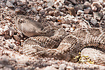 Tucson, Arizona; a Western Diamondback Rattlesnake (Crotalus atrox) sunning itself for warmth, while tucked into the opening of a burrow on the desert floor