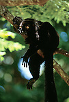 Black lemur hanging in a tree, Madagascar