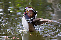 0310-1003  Drake (Male) Mandarin Duck Displaying Courtship Behavior, Aix galericulata  © David Kuhn/Dwight Kuhn Photography.