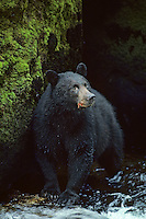 Black bear (Ursus americanus) standing in stream.