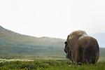 Musk Ox dominant bull (Ovibos moschatus), Dovrefjell National Park, Norway