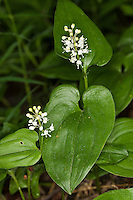 Zweiblättrige Schattenblume, Zweiblättriges Schattenblümchen, Maianthemum bifolium, May Lily