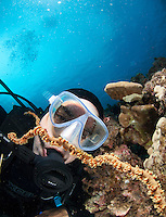 Diver looking at a goby over a wire coral,  turtle town Maui Hawaii.