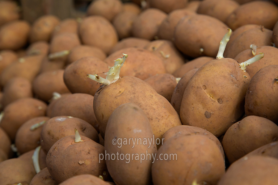 Orchestra seed potatoes; Norfolk, April