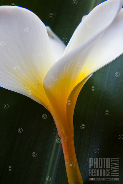 Close up of a white and yellow plumeria
