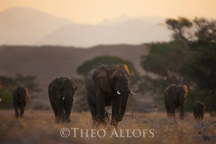 Namibia;  Namib Desert, Skeleton Coast, Huab River, desert elephant herd (Loxodonta africana) walking across grassland at sunset
