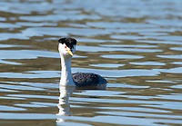 Clark's Grebe, Aechmophorus clarkii, swims on Upper Klamath Lake, Oregon