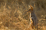 Black-backed Jackal (Canis mesomelas), Greater Makalali Private Game Reserve, South Africa