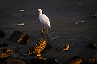 A Snowy egret takes dainty steps while searching for food along the rocky shoreline at the San Leandro Marina Park near sunset.