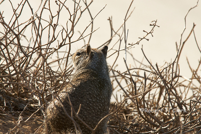 Ground Squirrel on the bluff at Carlsbad State Beach campground