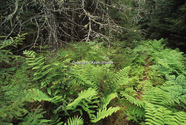 Undergrowth of ferns on Sears Island, Searsport, Maine, USA