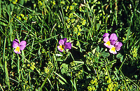 Viola calcarata, long-spurred pansy, Vercors, France