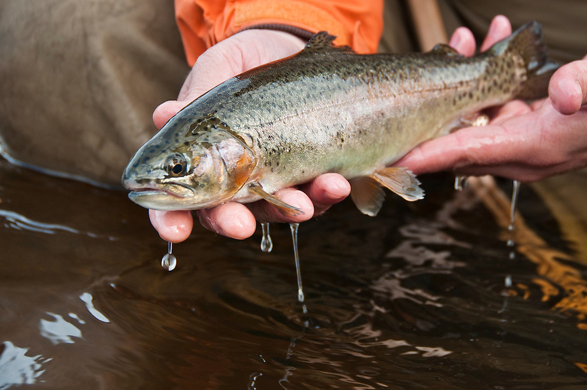 A rainbow trout from the Escanaba River near Boney Falls Dam Michigans Upper Peninsula.