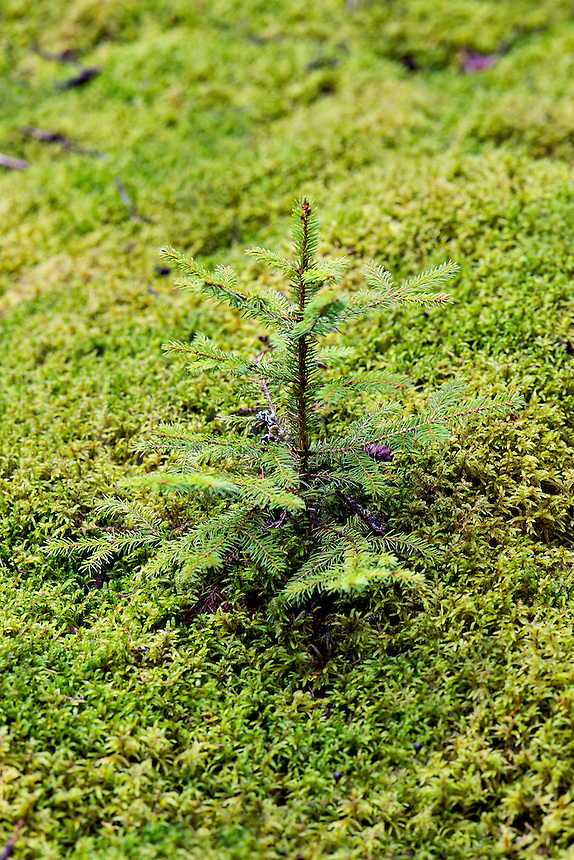 Evergreen spruce seedling, Mt desert Island, Maine