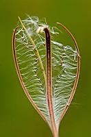 Sumpf-Weidenröschen, Sumpfweidenröschen, Samen, Samenstand, Epilobium palustre, marsh willowherb, L'épilobe des marais
