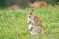 agile wallaby, or sandy wallaby, Macropus agilis, mother with joey in a pouch on a meadow, Queensland, Australia, Oceania