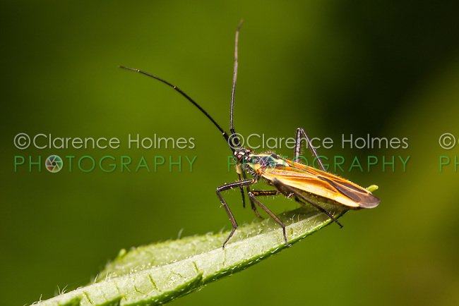 A Meadow Plant Bug (Leptopterna dolabrata) perches on vegetation.