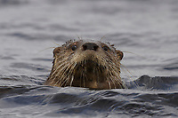 Chilean river otter, southern river otter, huillin, Lontra provocax, Chiloe Island, Chile, looking