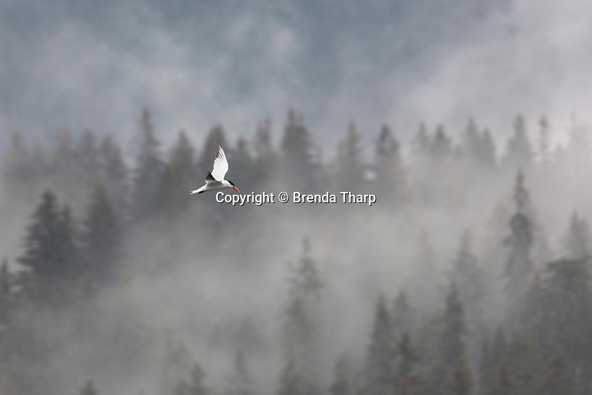 Caspian Tern flying in front of Misty Trees in Glacier Bay, Alaska.