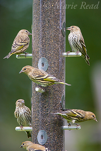 Pine Siskins (Carduelis pinus) and American Goldfinches (Carduelis tristis) at a thistle (nyjer) seed feeder, New York, USA