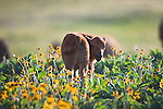Bison calf in arrow leaf balsamroot wildflowers in Montana
