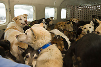 40 dropped dogs are in the PenAir caravan plane waiting for departure from Nikolai back to Anchorage on Wednesday during the 2008 Iditarod