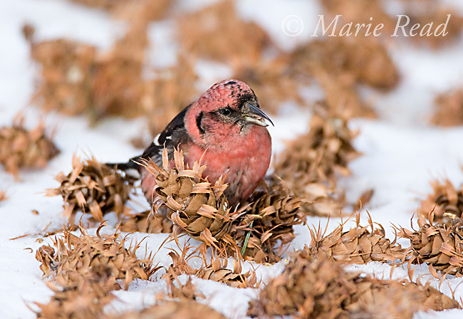 White-winged Crossbill (Loxia leucoptera), male feeding on fallen Douglas-fir cone on snow-covered ground,  Ithaca, New York, USA