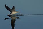 skimmer feeding at Upper Newport Bay Ecological Reserve