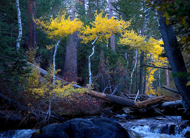 COLORFUL ASPENS LINE LEE VINING CREEK DURING AUTUMN IN THE SIERRA NEVADA MOUNTAINS