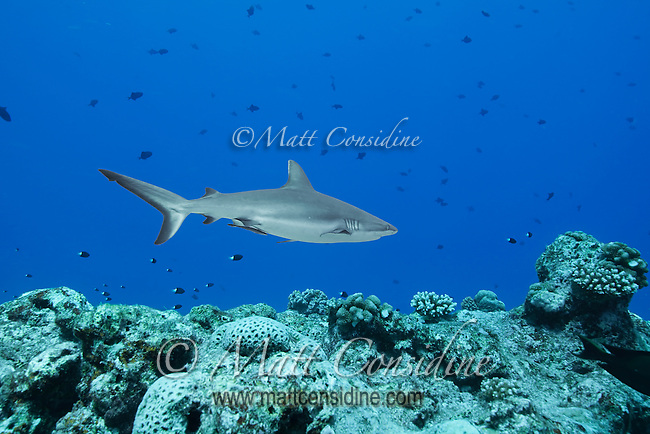 A stocky grey reef shark cruises up and down the current like a jet fighter. Occasionally a shark will swoop past just a few feet away and sometimes surprise a divers by coming in from behind, Palau Micronesia. (Photo by Matt Considine - Images of Asia Collection)